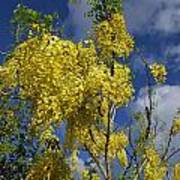 Yellow Cassia Poster