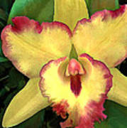 Yellow Cattleya With Red Ruffles Poster
