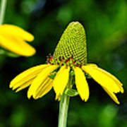 Yellow Cone Flower Poster