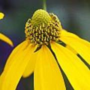 Yellow Cone Flower Rudbeckia Poster