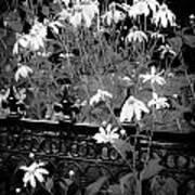Yellow Coneflowers Echinacea Wrought Iron Gate Bw Poster