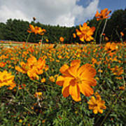 Yellow Cosmos Field In Flower Japan Poster