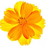 Yellow Cosmos Poster