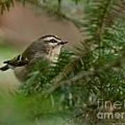 Yellow-crowned Kinglet Poster