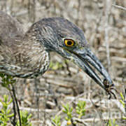 Yellow-crowned Night Heron With Crab Poster