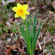Yellow Daffodil At Lee Gardens Poster
