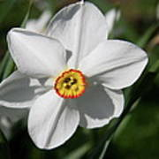 Yellow Daffodil Heart Poster