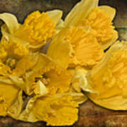 Yellow Daffodils And Texture Poster