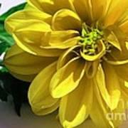 Yellow Dahlia Closeup Poster