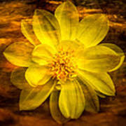 Yellow Dahlia Under Water Poster