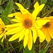 Yellow Daisies Poster