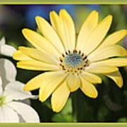 Yellow Daisy With Boarder Poster