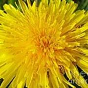 Yellow Dandelion With A Little Heart Poster