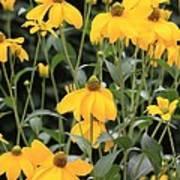 Yellow Echinacea Poster
