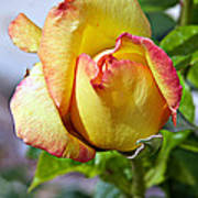 Yellow Edged In Pink Rose Poster