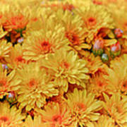Yellow Fall Mums Poster