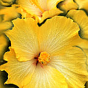 Yellow Fantasy Hibiscus Flowers Poster