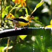 Yellow Finch With A Water Leak Poster