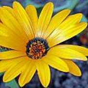 Yellow Flower Helianthus Poster