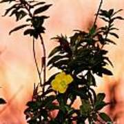 Yellow Flower Sunset Poster