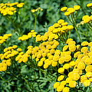 Yellow Flowers 3 Poster