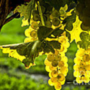 Yellow Grapes In Sunshine Poster