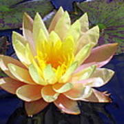 Yellow Hardy Water Lily Poster