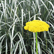 Yellow Immortelle Flower Poster