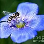 Blue Flax Flower Poster
