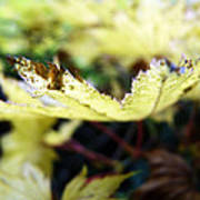 Yellow Japanese Maple Poster