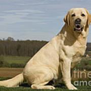 Yellow Labrador Dog Poster