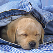 Yellow Labrador Puppy Asleep In Jeans Poster