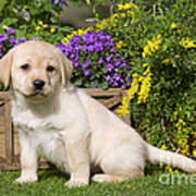 Yellow Labrador Puppy Poster