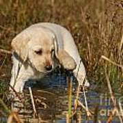 Yellow Labrador Retriever Puppy Standing In Water Poster