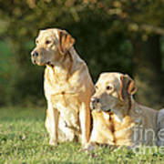 Yellow Labrador Retrievers Poster