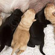 Yellow Labrador Suckling Puppies Poster