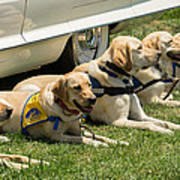Yellow Labs In Training Poster