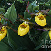 Yellow Lady Slippers On Forest Floor Poster