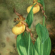 Yellow Lady's Slippers Poster