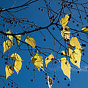 Yellow Leaves And Blue Sky In Autumn Poster