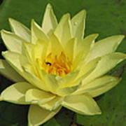 yellow lilly I Poster