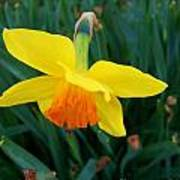 Yellow Lily Flower Poster