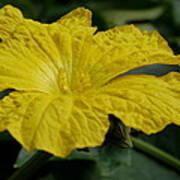 Yellow Luffa Blossom Poster
