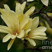 Yellow Magnolia Poster