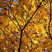 Yellow Maple 3 Poster