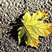 Yellow Maple Leaf On Asphalt Poster