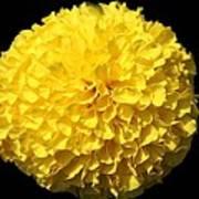 Yellow Marigold Poster