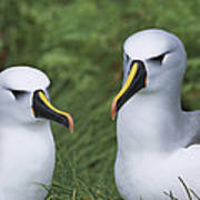 Yellow-nosed Albatross Pair Gough Island Poster