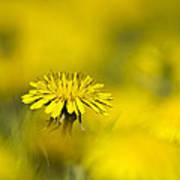 Yellow On Yellow Dandelion Poster