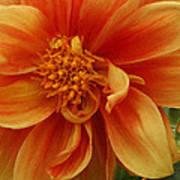 Yellow Orange Dahlia Poster